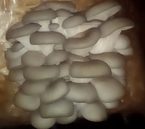 Oyster Mushrooms For Sale