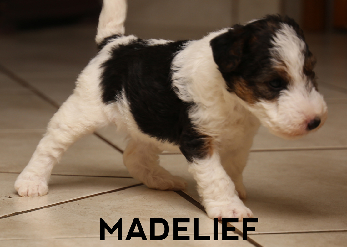 Purebred Wire Hair Fox Terriers for Sale