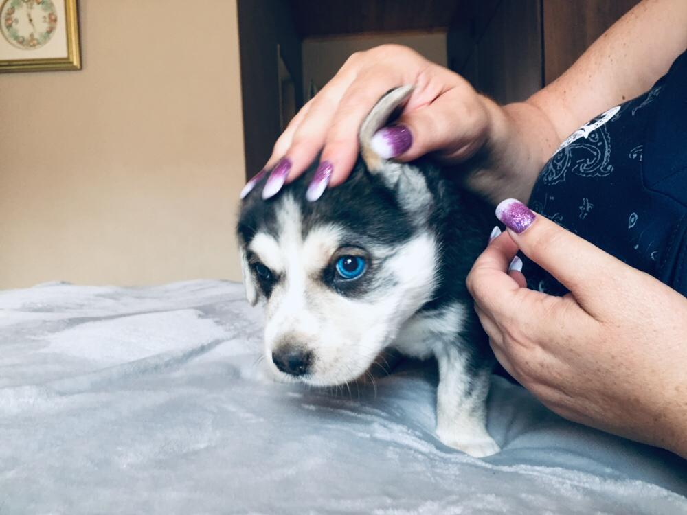 Labrador X Husky hondjies