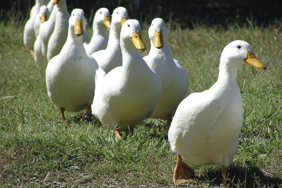 Quality Pekin ducklings for sale