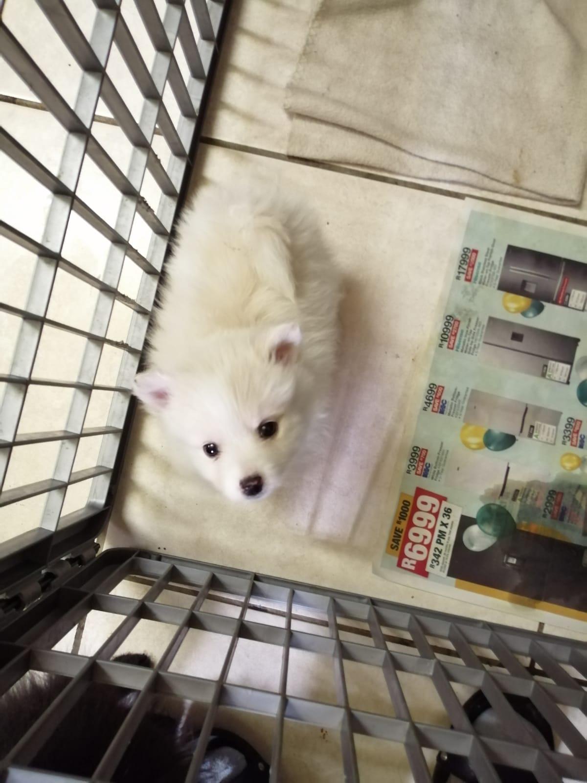 8 Weeks Old Purebred Pomeranian Puppies