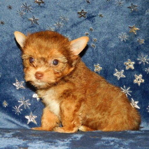 Sable Yorkie male puppy