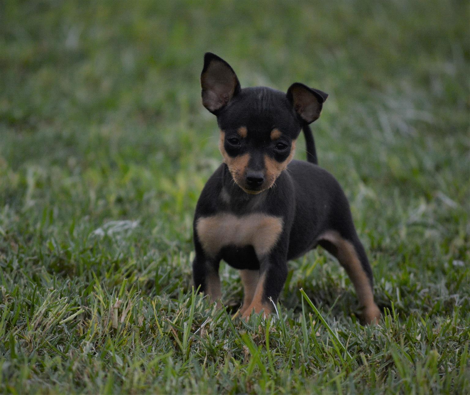 Miniature Doberman Pinscher Puppies (Bokkie)
