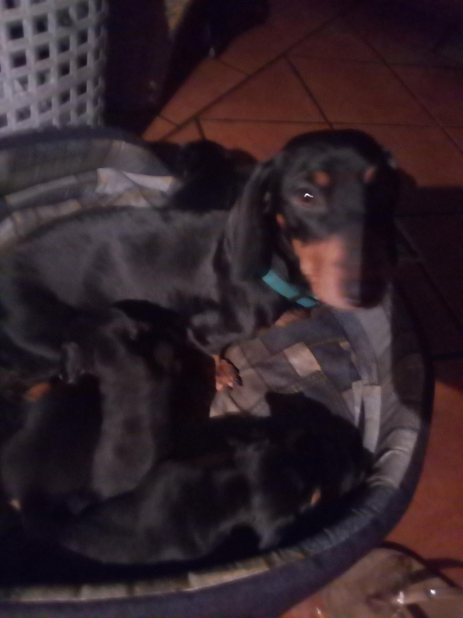 2 male dachund pups left