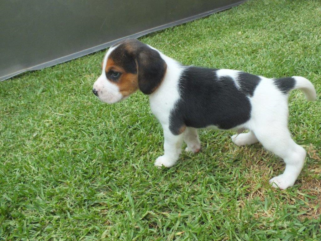 BEAUTIFUL TRICOLOURED REGISTERED AND UNREGISTERED BEAGLE PUPPIES