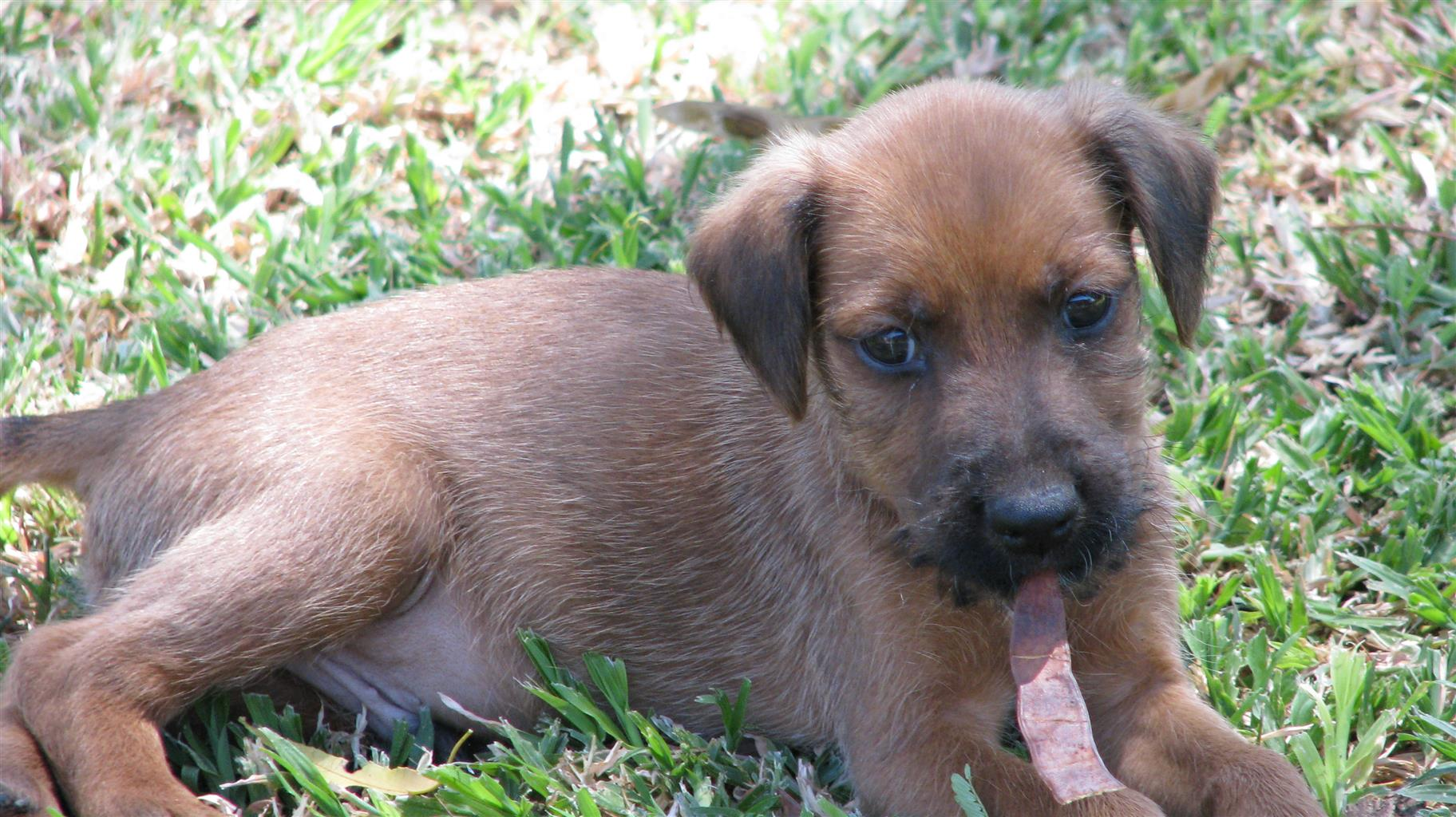 Purebred Irish Terrier Puppies For Sale