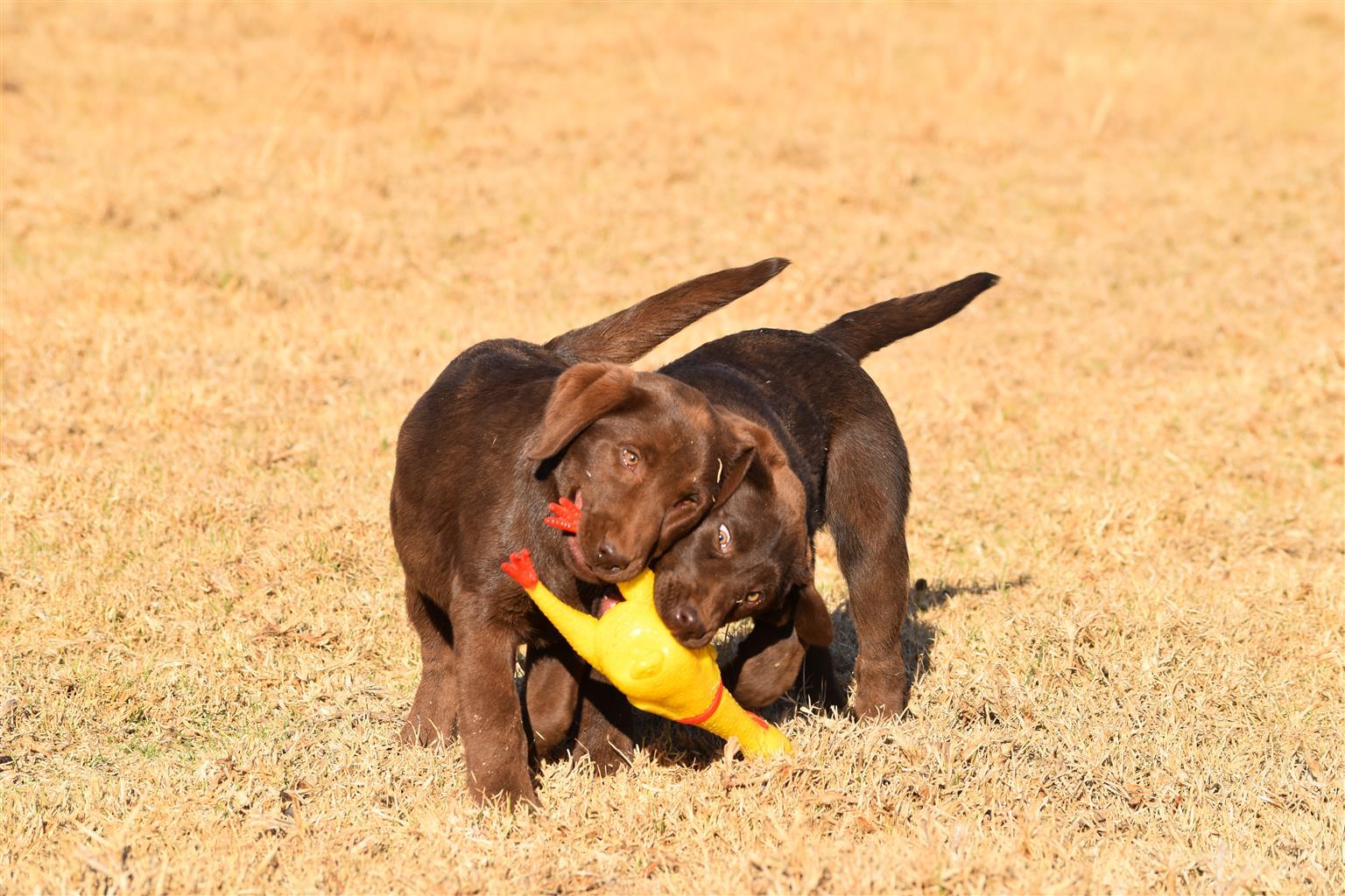 KUSA Chocolate Labrador