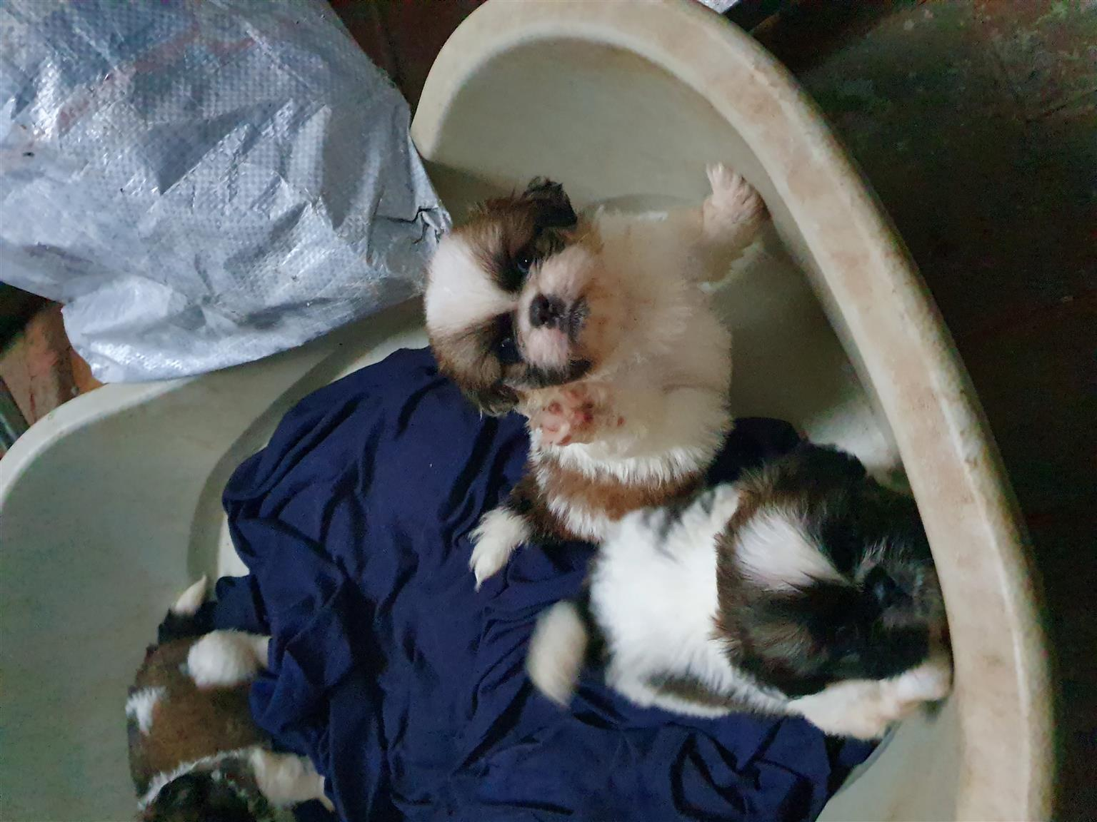 Pekenise puppies