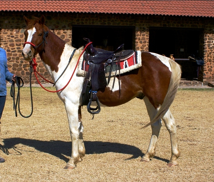 Amazing 5 year Old Pinto Gelding for sale
