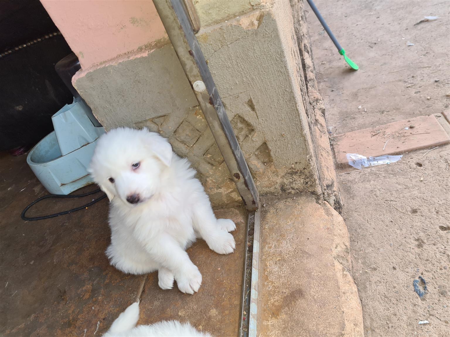 Pyranees Mountain Dog puppies