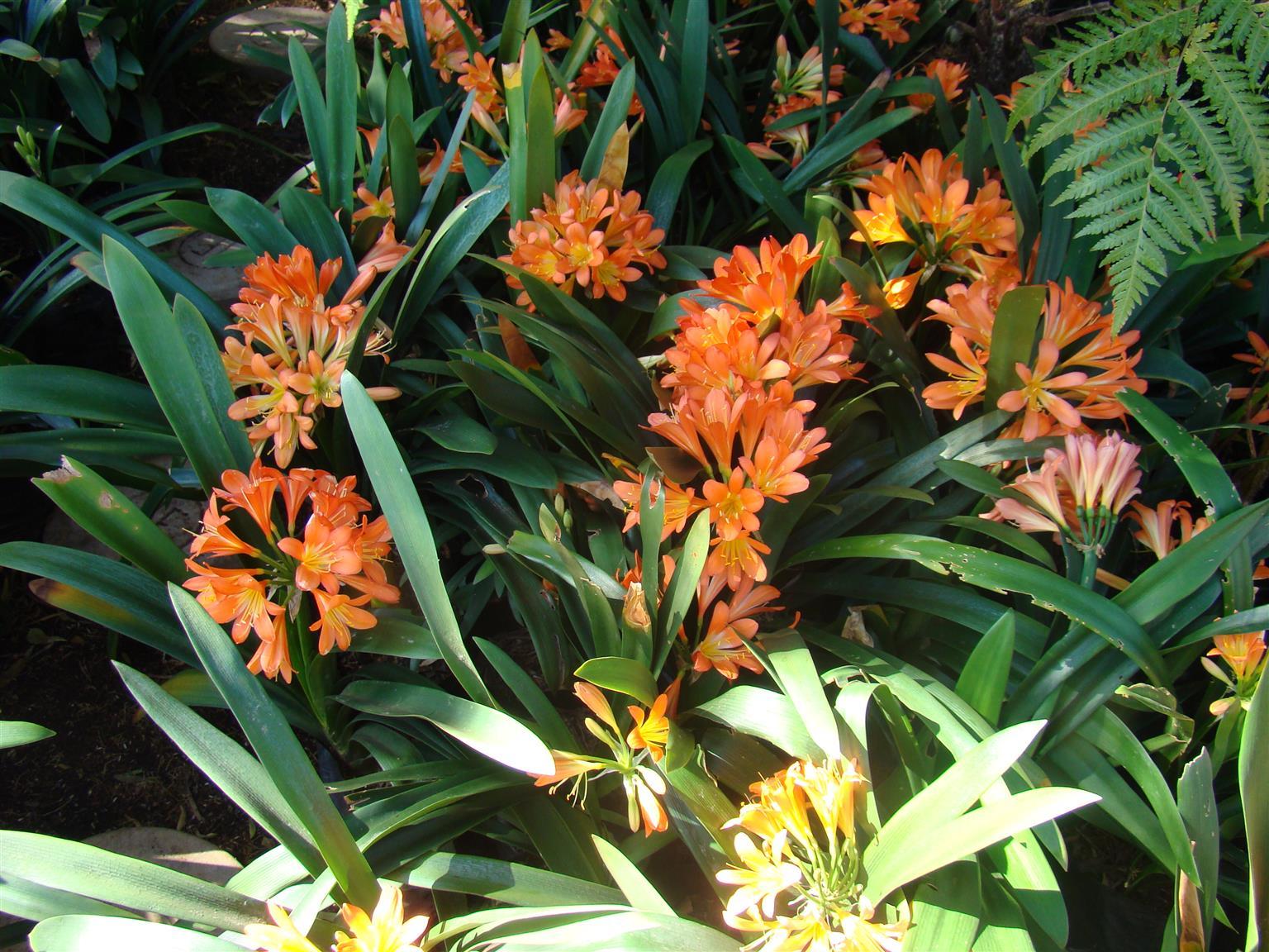 CLIVIAS VANAF R30/R40 ANDER PLANTE OOK BESKIKBAAR