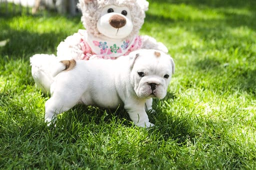 Bulldogs puppies