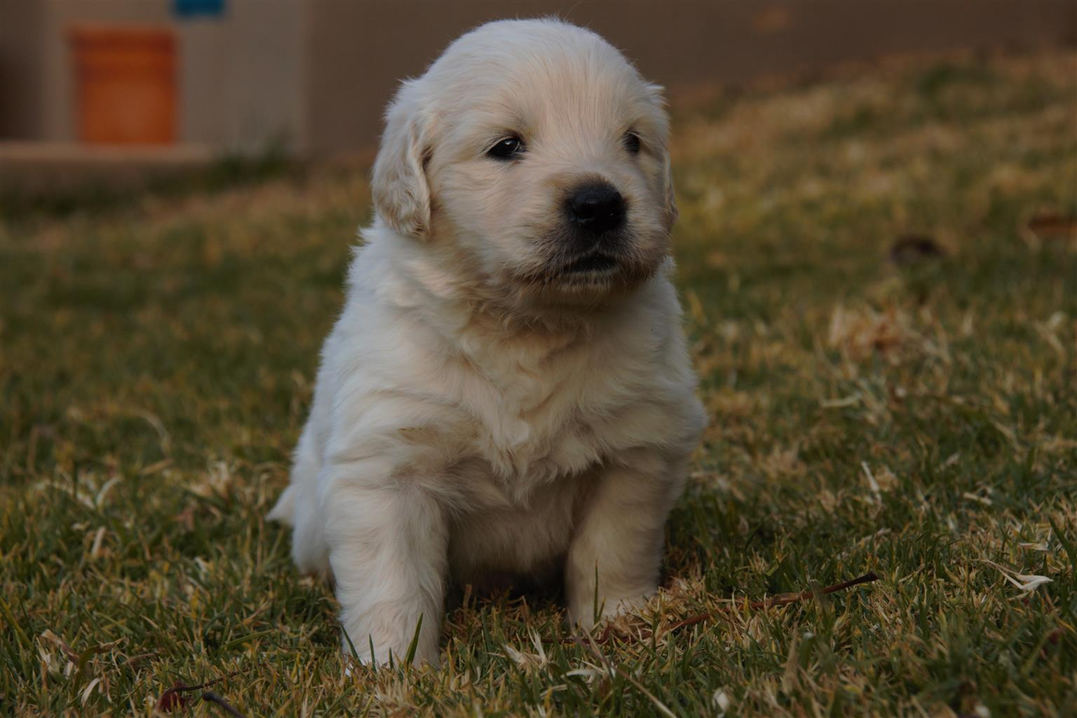 Pure Breed Golden Retriever Puppies