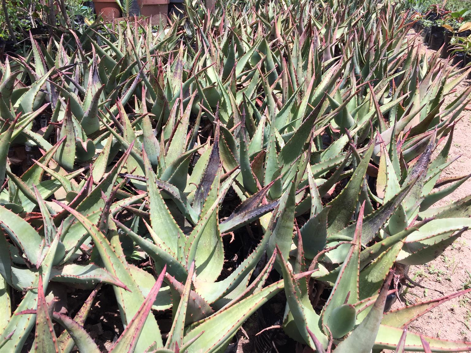 INDIGENOUS Aloes. Ferox. Marlottii. Vanbaelenii. Striata