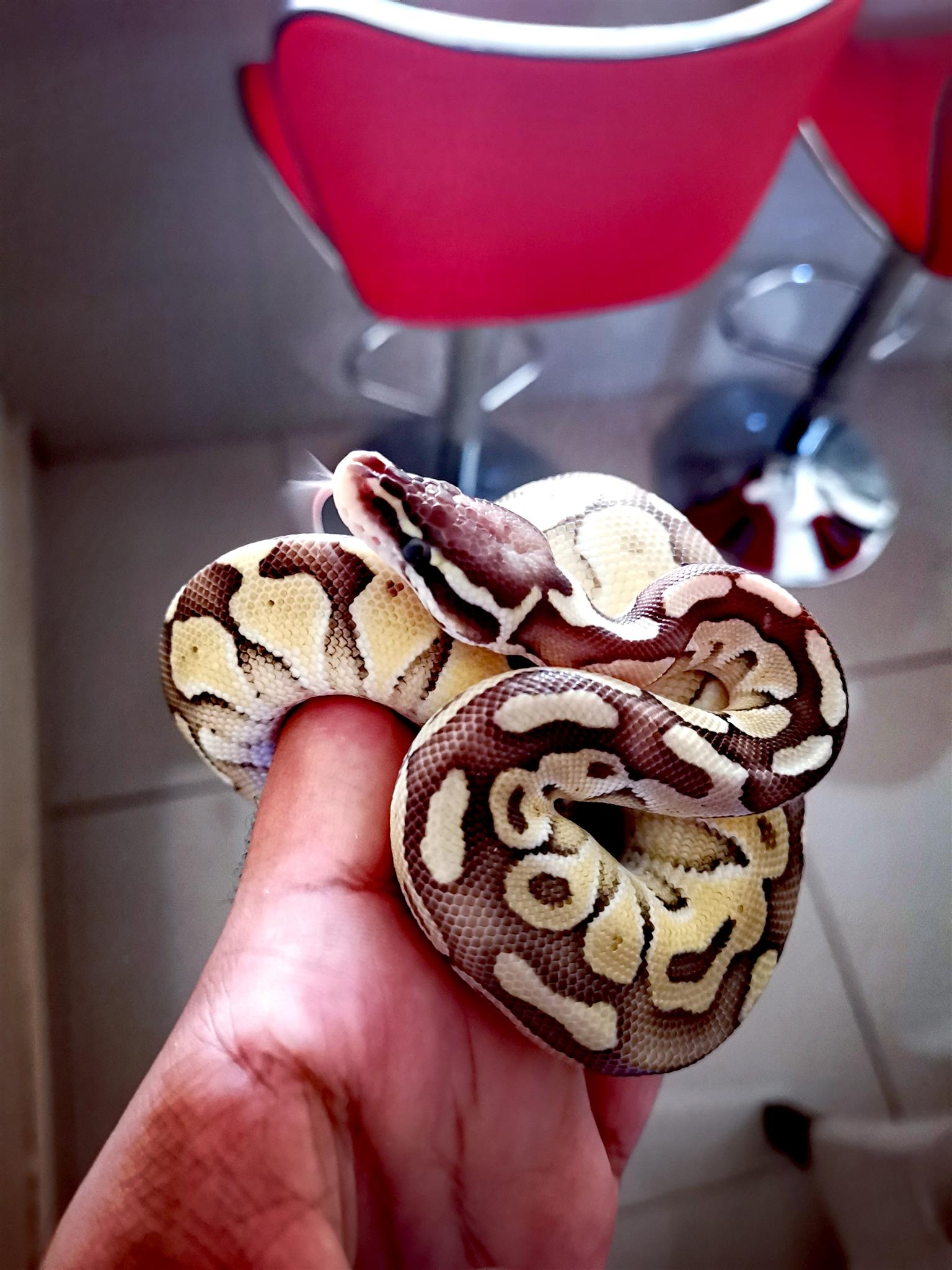 Pastel butter ball python