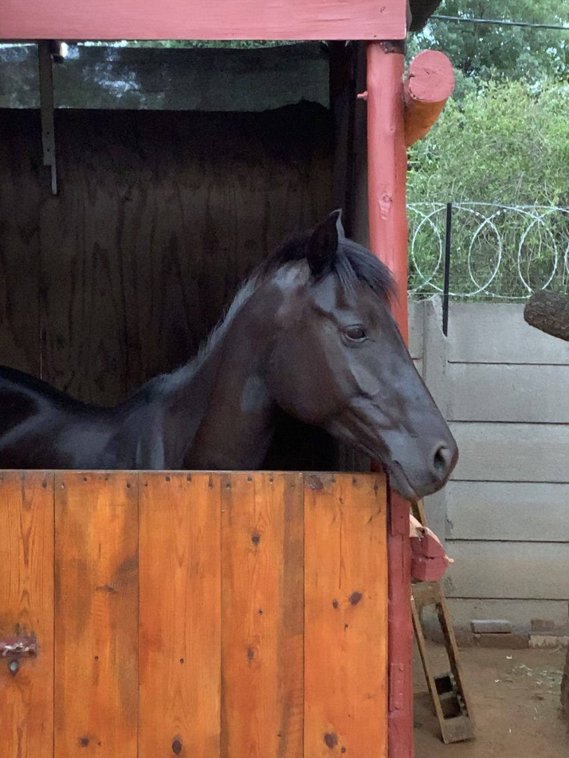 FRESIAN X MARE FOR SALE