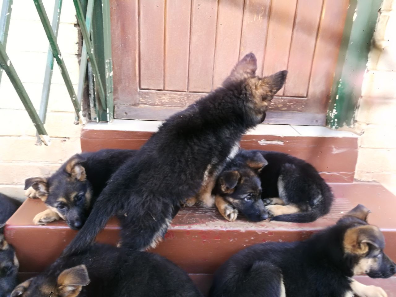 German Sherpered Puppies for sale