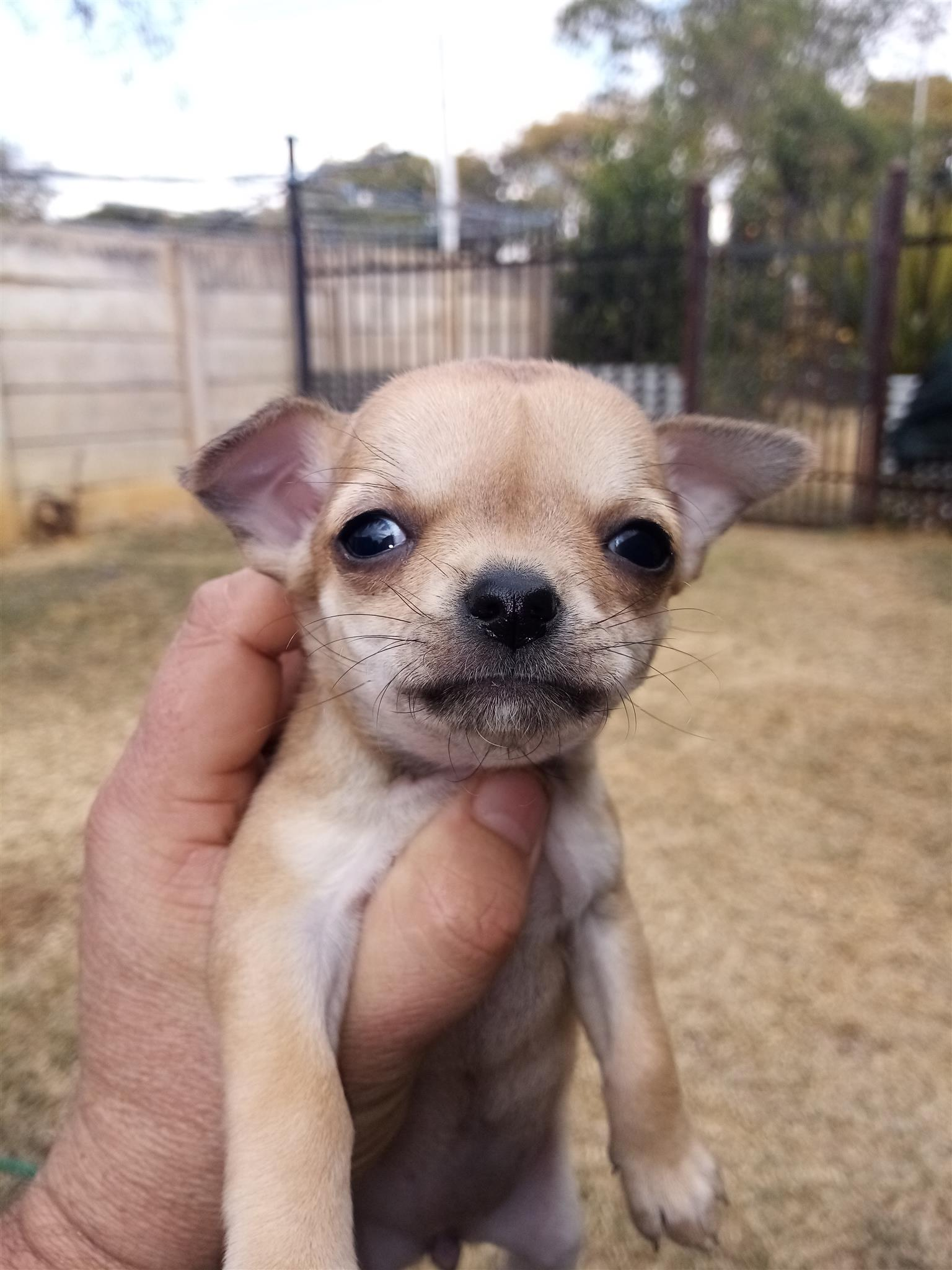 chiwawas puppie