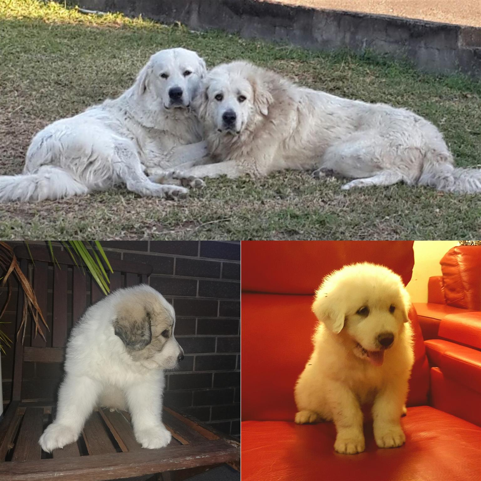 Great Mountain Pyrenees Puppies for Sale