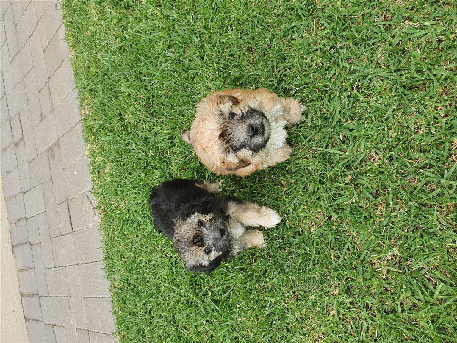 morkie mini puppies