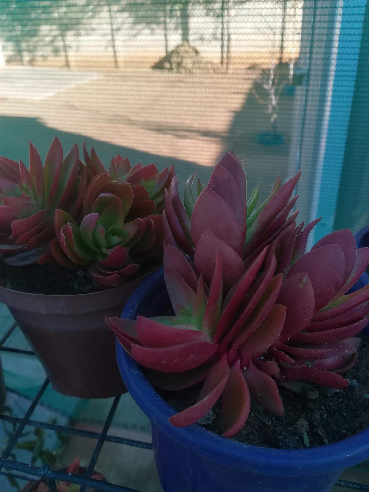 Vetplante, grondbedekkers, Aloes en Agave plante op special