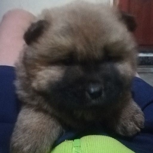 Chow Chow Puppies Black Or Brown Female Junk Mail