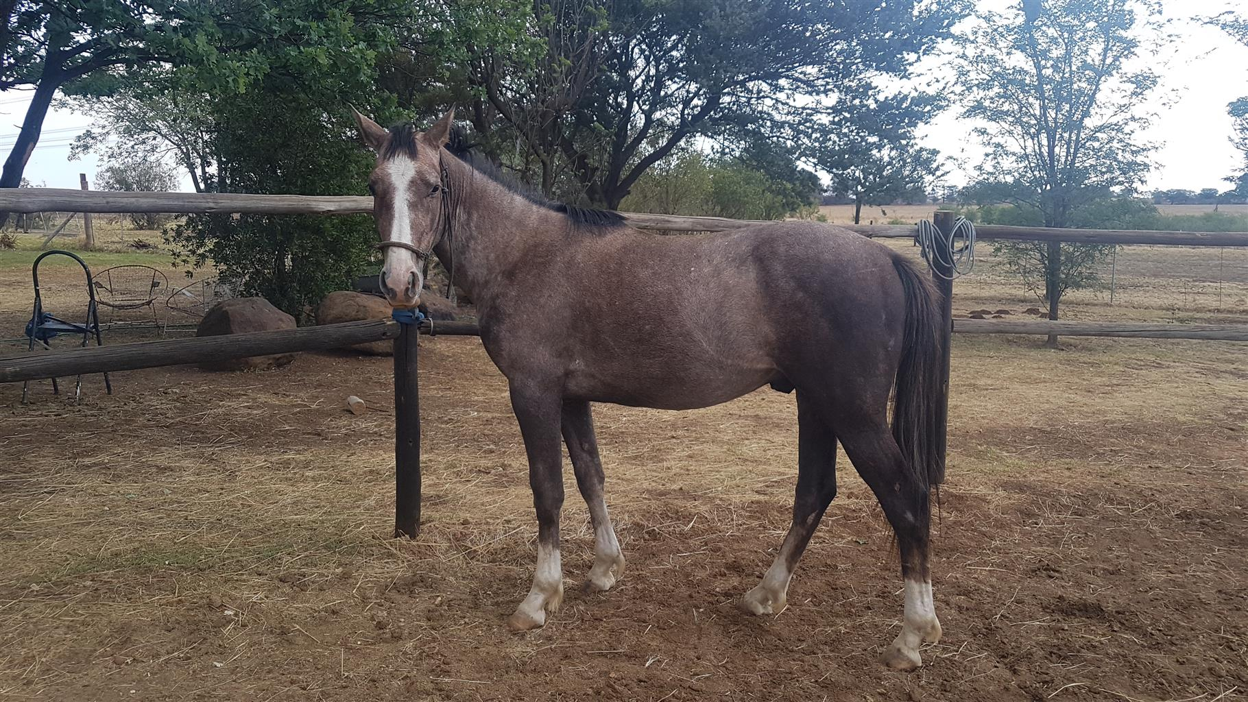 Throughbred cross pony colt nearly 3 years