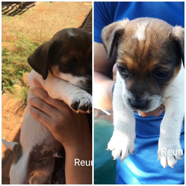 jack russel puppies for sale | junk mail