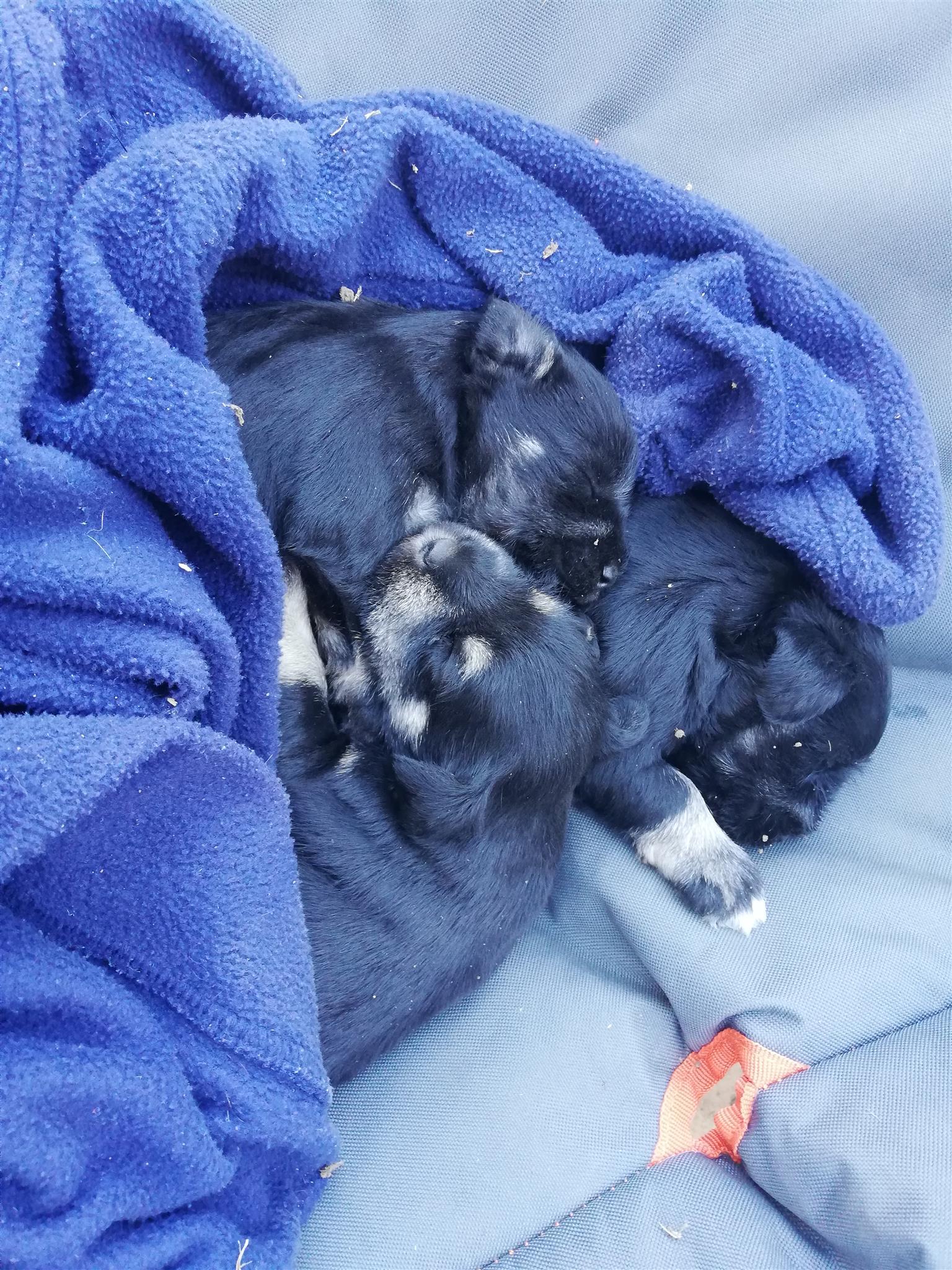 Miniature Schnauzer Male puppy for sale