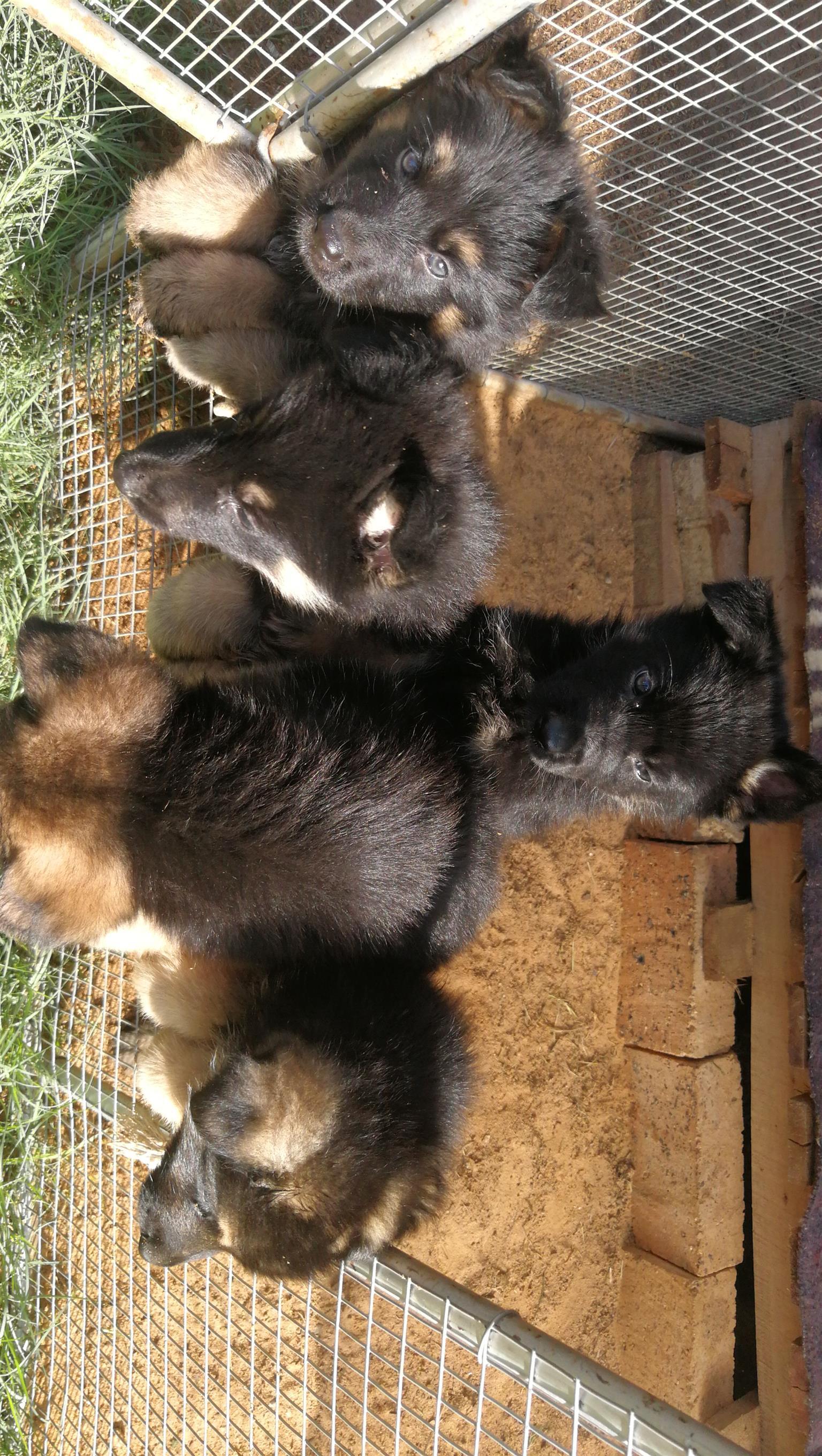 German sheppard Puppies te koop
