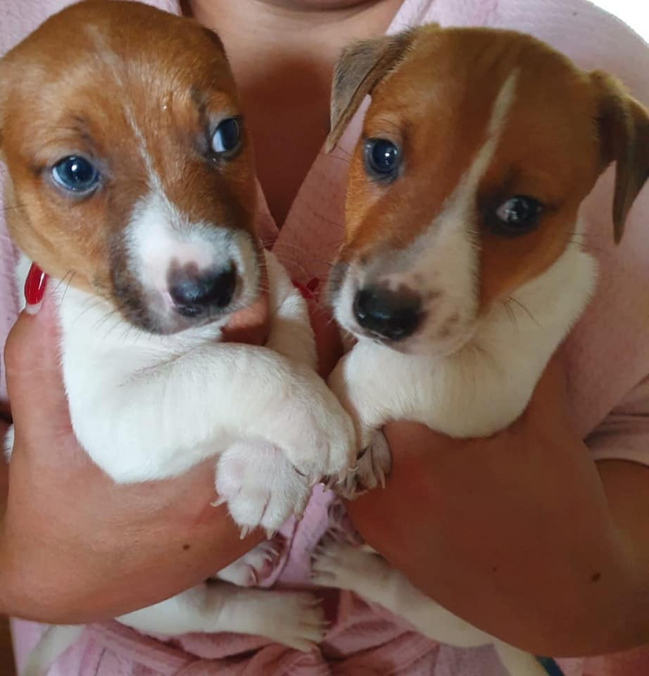 JackRussell Puppies