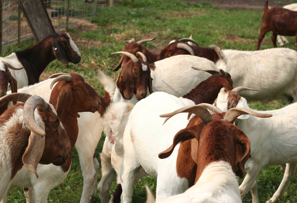 Boer Goats ewes and rams available