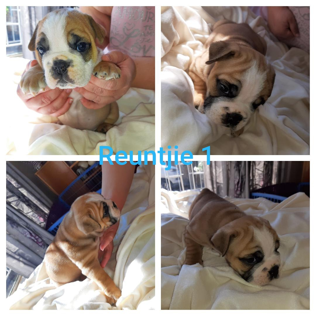 Beautiful Purebred English Bulldog puppies available