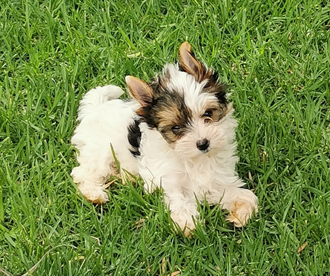 Beautiful Little Female Biewer Yorkie puppy available