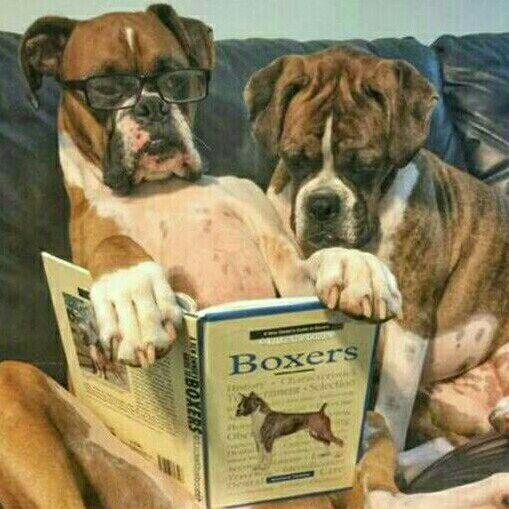 opregte boxer hondjies