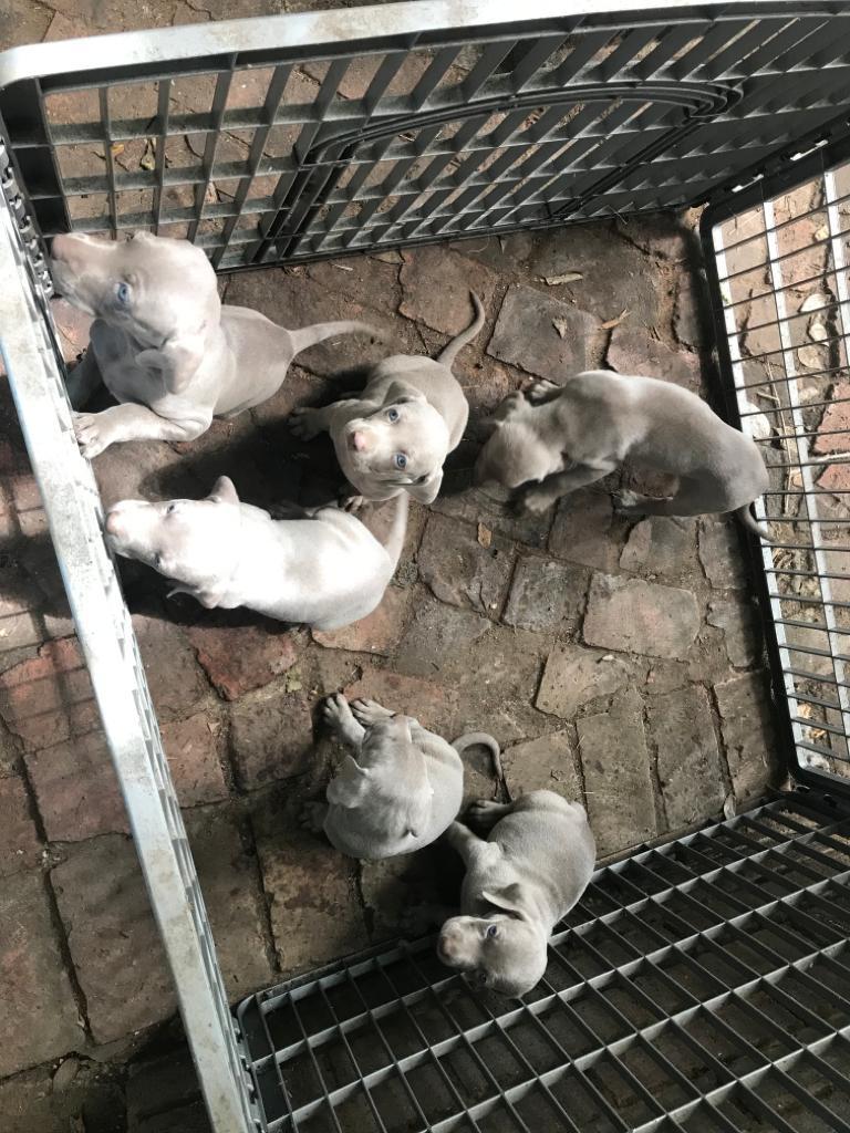 Weimeraner puppy's for sale