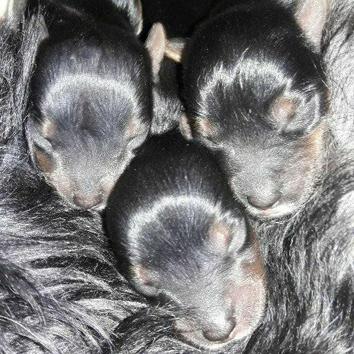 yorkshire Terrior pups