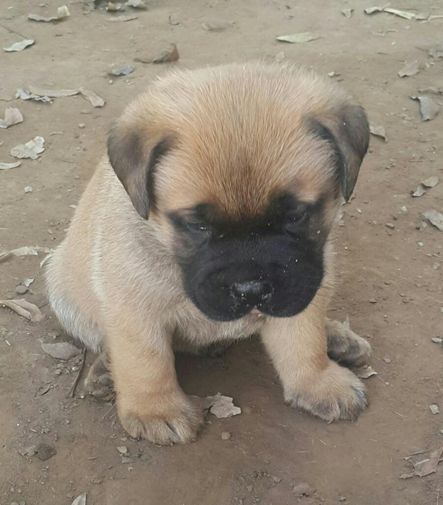 Opregte Bullmastiff hondjies te koop