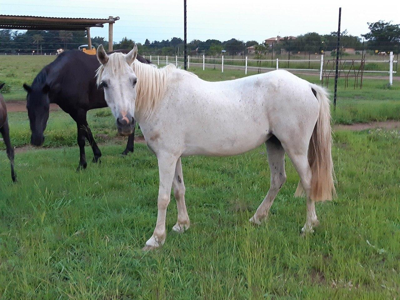 Arab X Welsh Pony