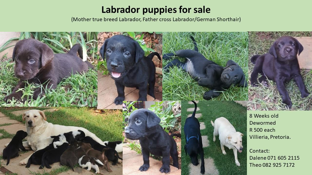 Labrador puppies for sale. (Mother true breed Labrador, Father cross Labrador/German Shorthair)