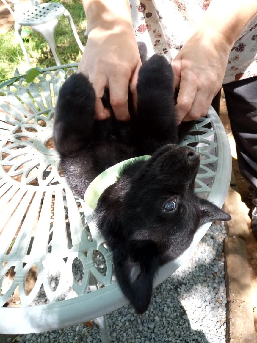 Labrador cross Shepherd (Sheprador) puppies for sale