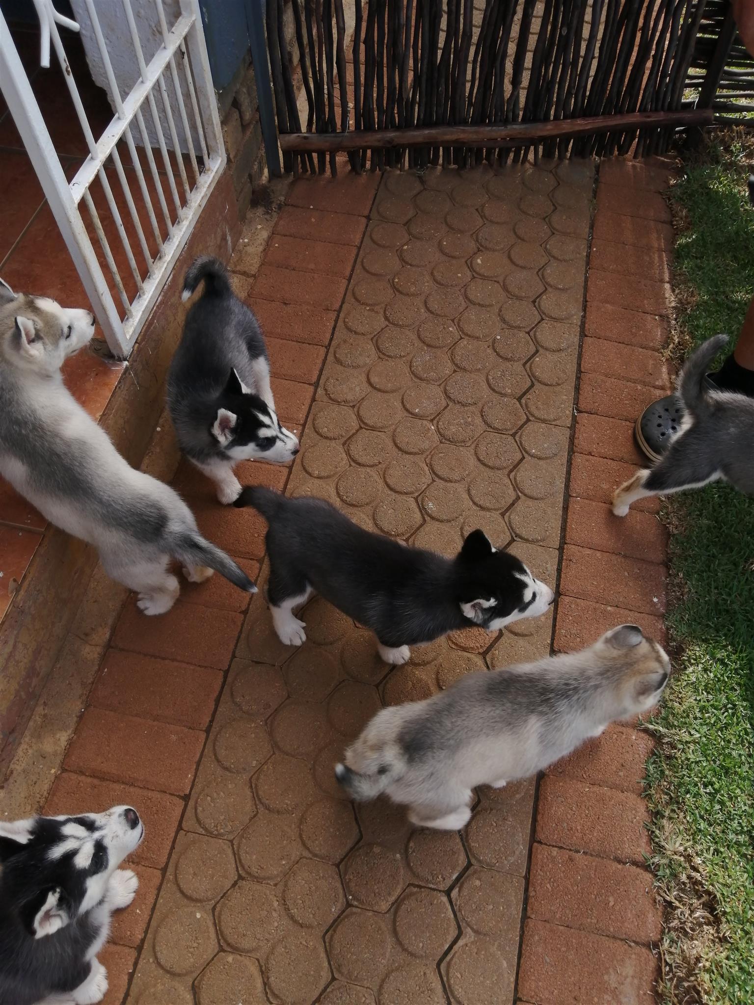 Siberian Husky hondjies te koop
