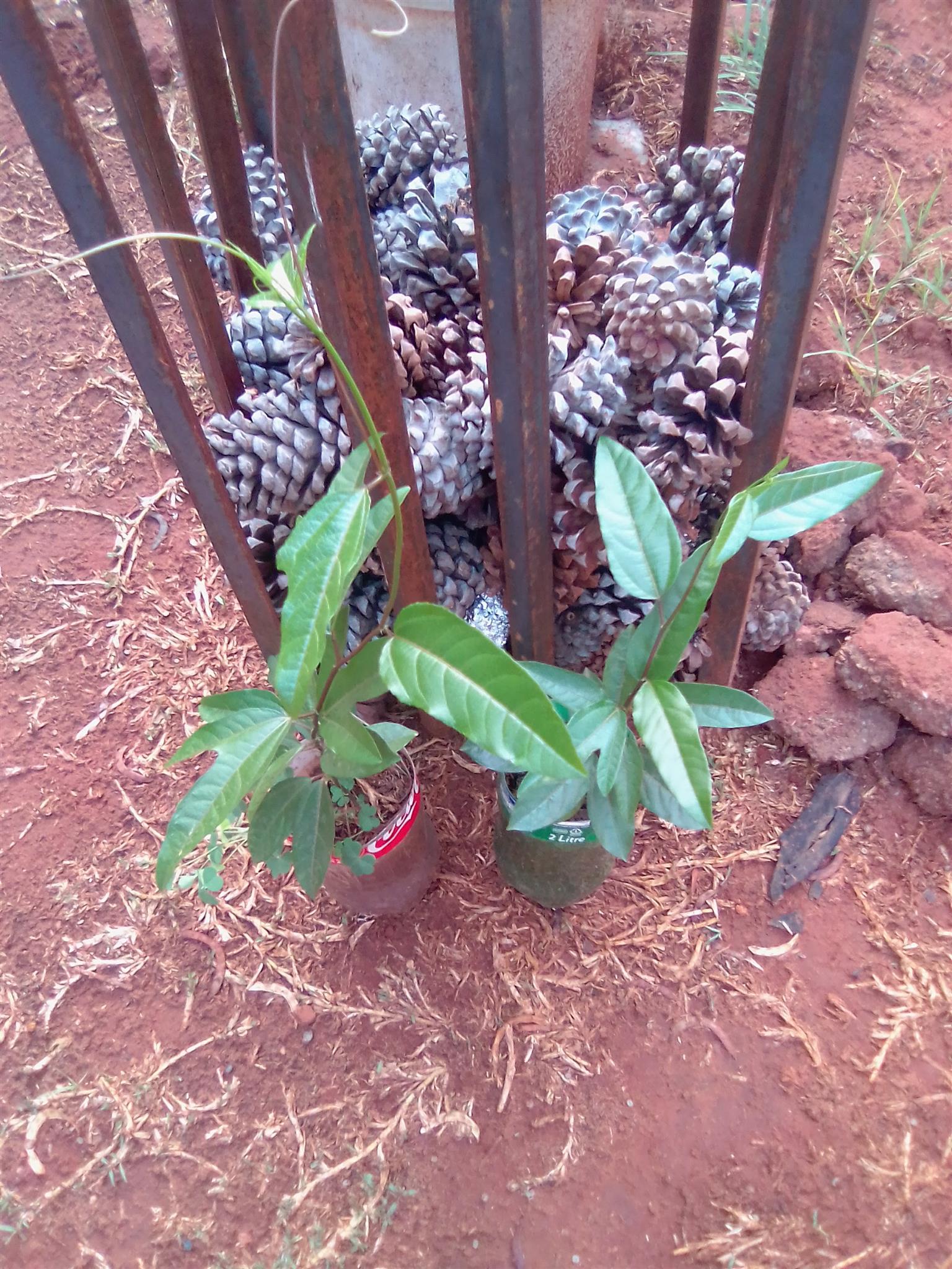 Young granadilla tree for sale