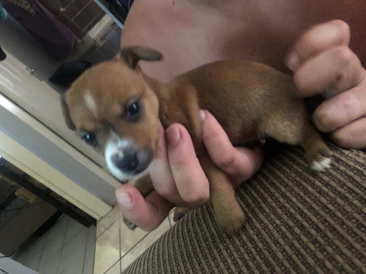 Doberment Pincher Puppy