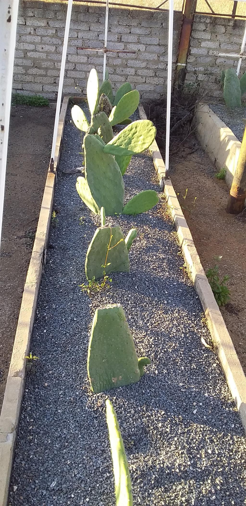 Prickley pear plants green