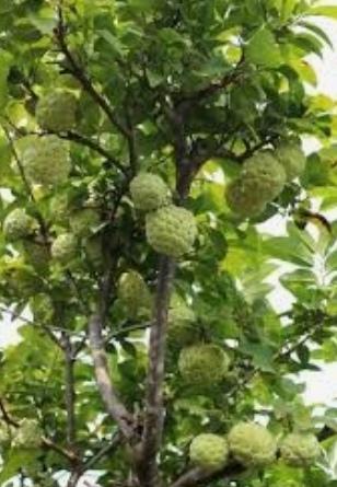 Custard apple tree for sale