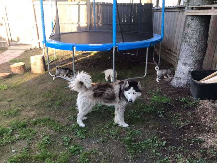 Beautiful Blue Eyed Siberain Husky Puppies For Sale.