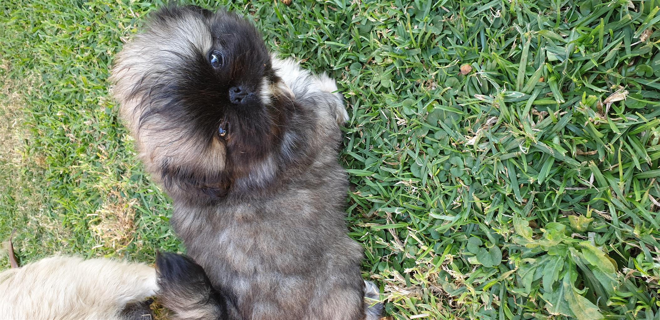 Pekingese Male