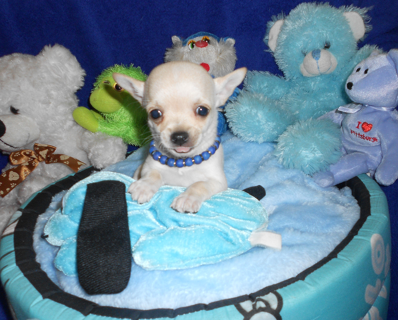 Small type applehead chihuahua puppies