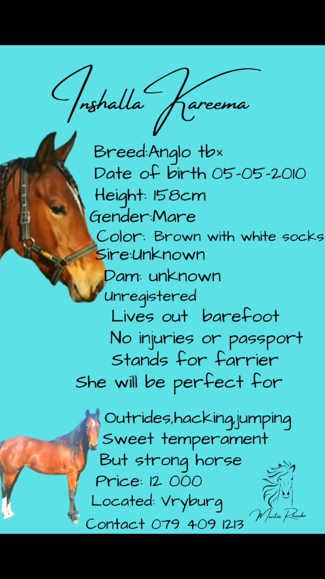 Anglo Arab Mare for sale